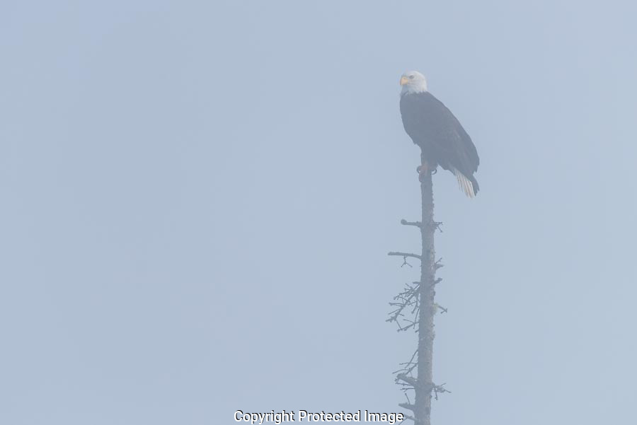 A bald eagle sits on top of a dead snag in dense fog on Whidbey Island in Washington.