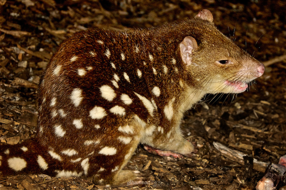 Spotted-Tailed Quoll (Dasyurus maculatus) is the worlds second largest carnivorous marsupial, also known as the Tiger Quoll.  Endemic to Australia.