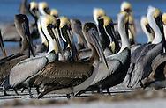 USA, Vereinigte Staaten von Amerika: Braunpelikan (Pelecanus occidentalis), Schwarm steht dicht beieinander am Strand, Indian Shores, Florida, USA. |  USA, United States of America, Florida, Indian Shores: Brown Pelicans (Pelecanus occidentalis) are standing closely packed on a beach. |