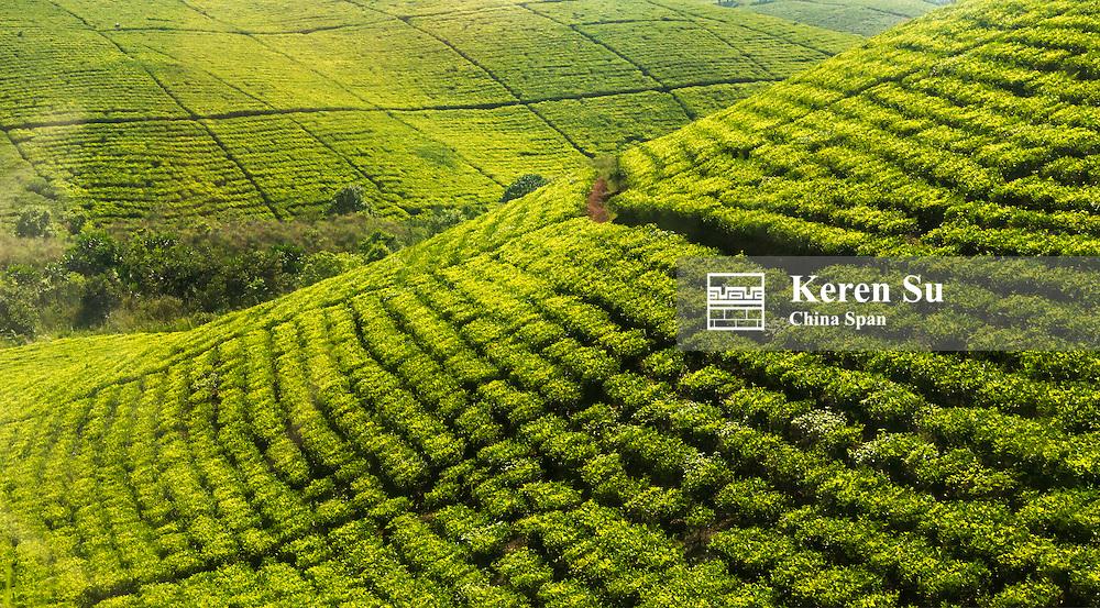 Terraced tea plantation, southwest Uganda