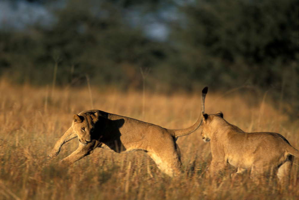 Botswana, Chobe National Park, Young Lionesses (Panthera leo) spar and play in Savuti Marsh at sunrise