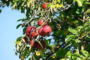 Äpfel am Baum, Odenwald, Hessen, Deutschland