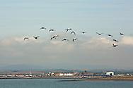 Flock of Eider in flight, Walney Island, Barrow in Furness, Cumbria, Uk