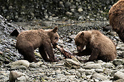 A brown bear spring cubs learn to eat salmon as they wean at the McNeil River State Game Sanctuary on the Kenai Peninsula, Alaska. The remote site is accessed only with a special permit and is the world's largest seasonal population of brown bears in their natural environment.