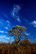 Silver crested leaf tree, Kruger National Park, South Africa