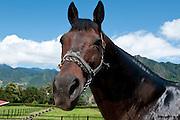 Race horse face, Cerro Punta village, Chiriqui province,Panama,Central America
