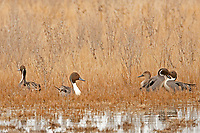 Northern Pintails squabble in the tall grass as winter fades all the ducks are starting to feel the urgency as the nesting season grows close.