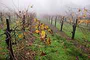 Stony Hill Winery, St. Helena, CA (Napa Valley) in the foggy winter rain. Stony Hill Winery is known for producing fine white wines which are aged in oak barrels that have been used for as many as 30 years, thereby not adding much oak flavor at all to the wine.