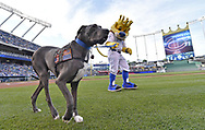 June 30, 2017 - Kansas City, MO, USA - USO Comfort Dog, Bandit, gets a walk off the field by Kansas City Royals mascot Sluggerrr before a game against the Minnesota Twins at Kauffman Stadium in Kansas City, Mo., on Friday, June 30, 2017. (Credit Image: © John Sleezer/TNS via ZUMA Wire)