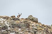 Trophy mule deer buck on ridgeline in Wyoming