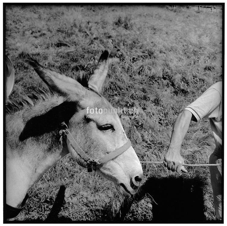 Maultiere und Esel wurden jahrhundertelang zum Transportieren von Waren benutzt. Auf den nur schwer begehbaren Alpwegen in der Schweiz waren diese Tiere wichtige Helfer. Heute werden sie nur noch selten genutzt. Tessin, Alpe di Bietri.