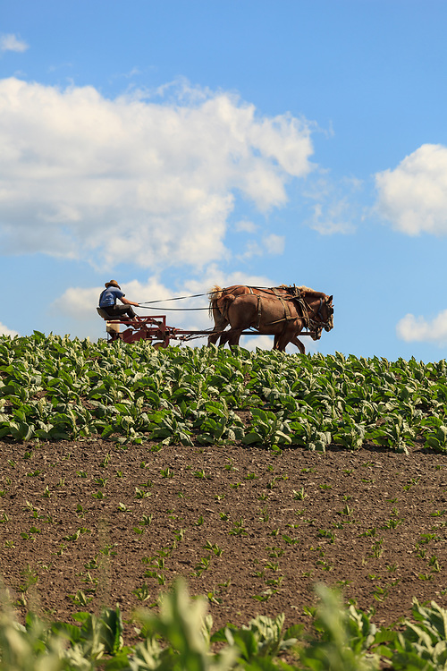 An Amish farmer uses his horses to work in his tobacco field in Lancaster County, PA.