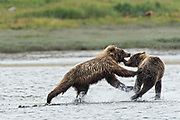 Brown bear sub-adults play fight along the lower lagoon at the McNeil River State Game Sanctuary on the Kenai Peninsula, Alaska. The remote site is accessed only with a special permit and is the world's largest seasonal population of brown bears in their natural environment.