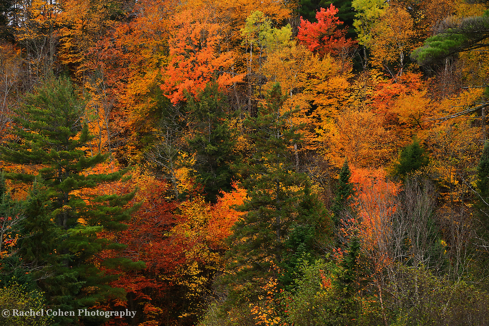 &quot;Autumn Melange&quot;<br /> <br /> A wonderful melange of autumn color mixed in with various evergreen trees!!<br /> <br /> Fall Foliage by Rachel Cohen