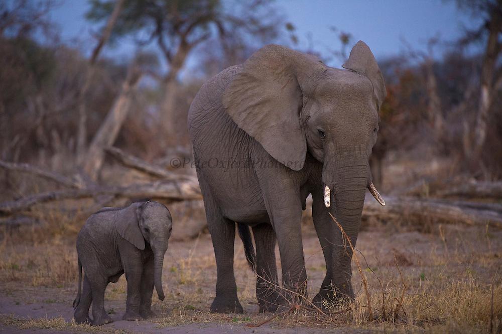 African Elephant (Loxodonta africana) Mother & Baby<br /> Moremi Game Reserve, Okavango Delta<br /> BOTSWANA<br /> IUCN STATUS: Vulnerable