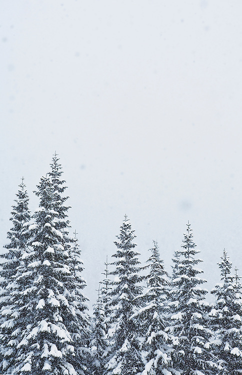 Snow covered trees in a snow storm, Washington Cascades