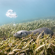 An endangered Australian sea lion (Neophoca cinerea) lying in a bed of sea grass, blowing bubbles