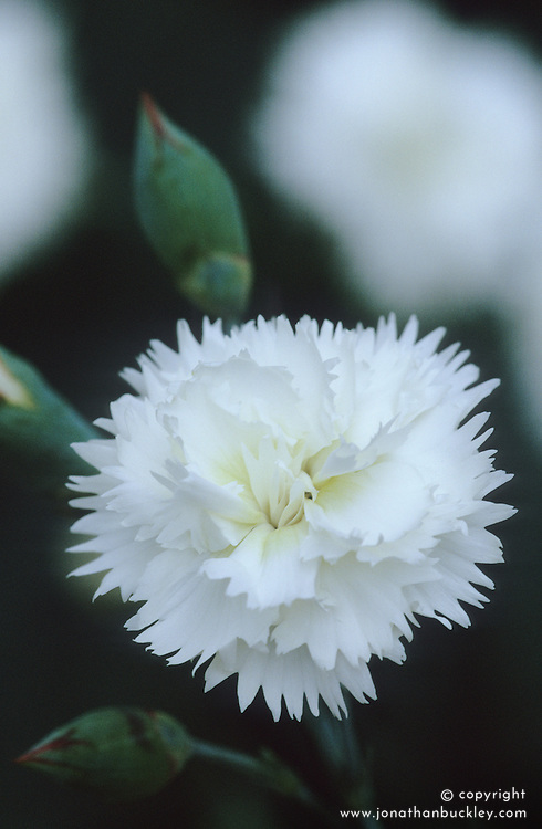 Dianthus 'Devon Dove'- Carnation, Pink