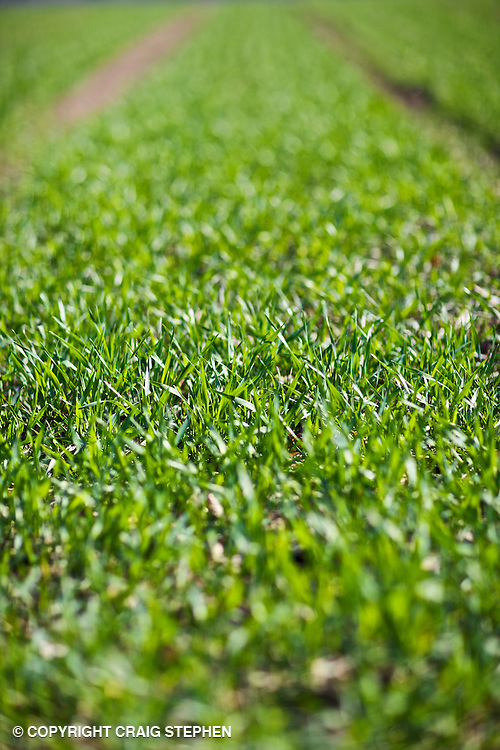 Seedlings / crop breaking through the ground in springtime