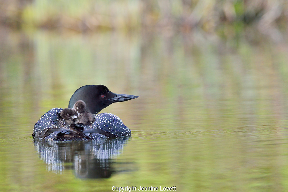 Two chicks on the back of a adult loon.