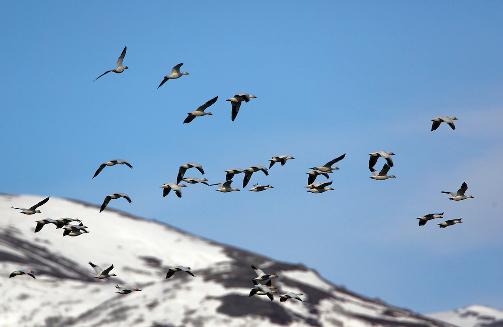 Alaska. Snow Geese (Chen caerulescens) flying through the Matanuska Valley during spring migration.