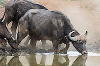 A Cape buffalo cow wades into a waterhole to drink, Mokala National Park, Northern Cape, South Africa