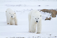01874-12612 Polar bears (Ursus maritimus) mother and 2 cubs in winter, Churchill Wildlife Management Area, Churchill, MB Canada