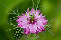 Close-up portrait of pink Love-in-a-Mist Mulberry Rose (Nigella Damascena) blossom against vibrant green background. A long-lasting summer self-seeding annual that like full sun and well-drained soil. A member of the Ranunculaceae family.