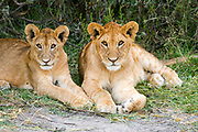 Africa, Tanzania, Serengeti National Park, Lion cubs, Panthera leo