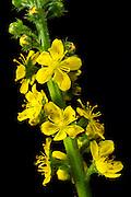 European groovebur (Agrimonia eupatoria) - Odermennig