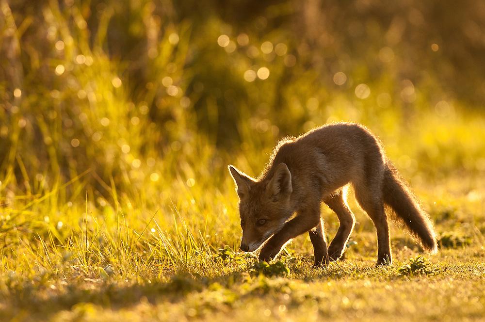 Red Fox (Vulpus vulpus) cub walking