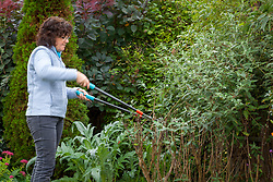 Pruning a buddleia bush with loppers. Butterfly bush