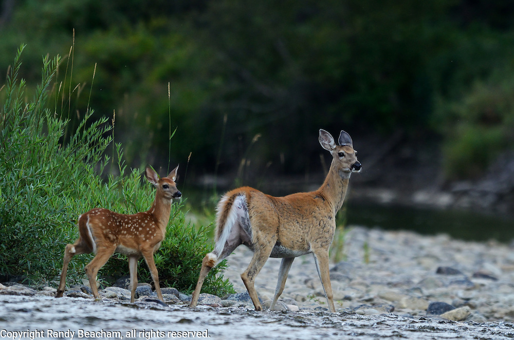 Whitetail doe with fawn along the Yaak River. Yaak Valley, Montana.