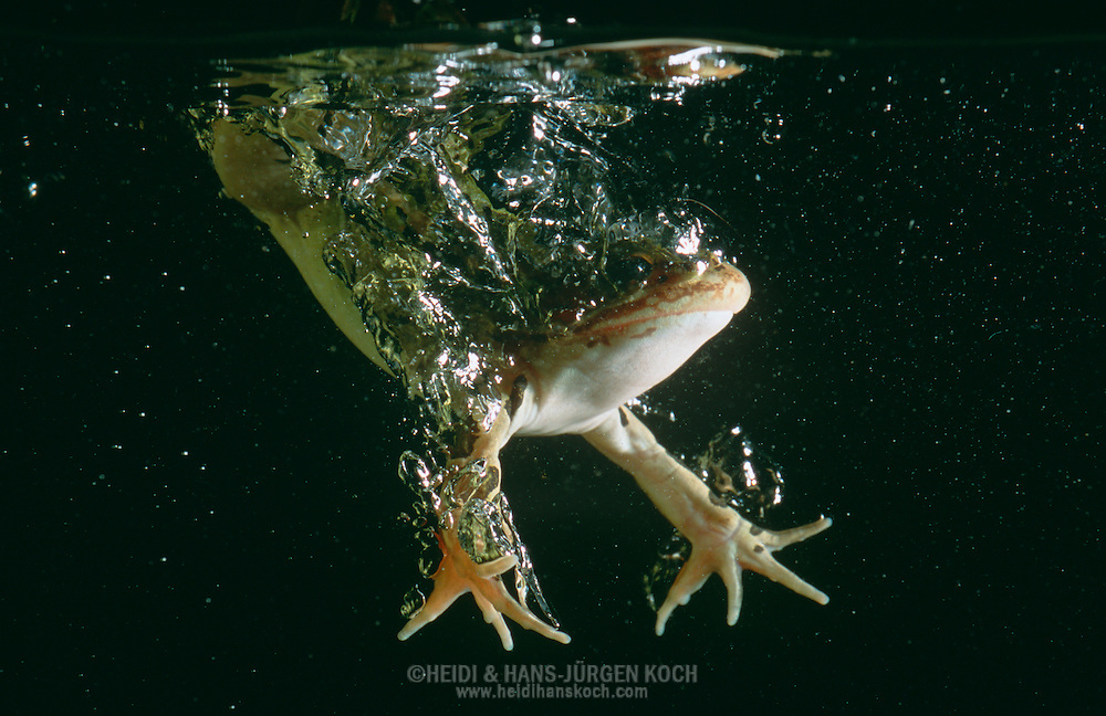 DEU, Deutschland: Leopardfrosch (Rana pipiens) springt ins Wasser, Herkunft: Nordamerika | DEU, Germany: Northern Leopard Frog (Rana pipiens) jumping into water, origin: North America |