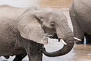 An elephant in Kruger National Park stands in a pool of water and sprays water on itself as a way to cool off. http://www.gettyimages.com/detail/photo/elephant-spraying-water-south-africa-royalty-free-image/97936321