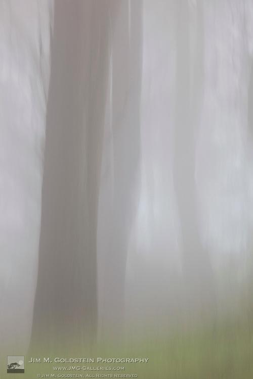 Fog shrouded trees along the San Francisco coast