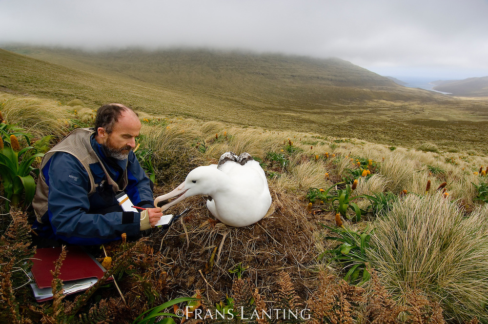 Researcher Peter Moore with southern royal albatross, Diomedea epomophora, Campbell Island, New Zealand