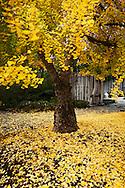Ginko Biloba Tree Fall Foliage in Japanese Garden at The Huntington, San Marino, California