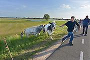 Nederland, Slijk-Ewijk, 3-6-2013Een boer haalt zijn koeien uit de uiterwaarden vanwege het verwachte hoogwater in de Waal. Foto: Flip Franssen/Hollandse Hoogte