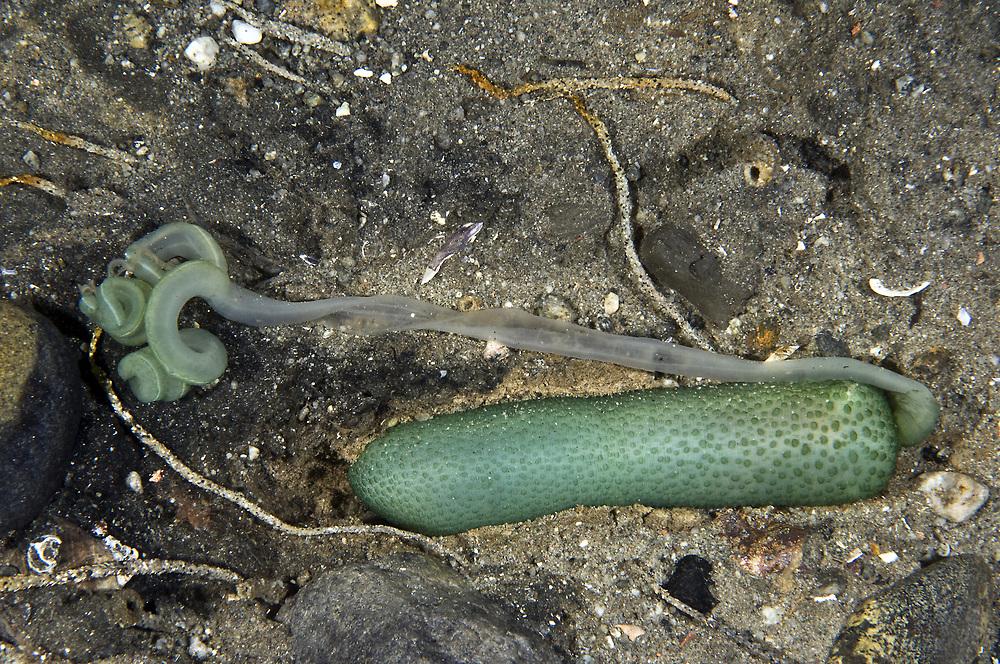 Green Spoonworm (Bonellia viridis). Location: Lysefjorden, Norway