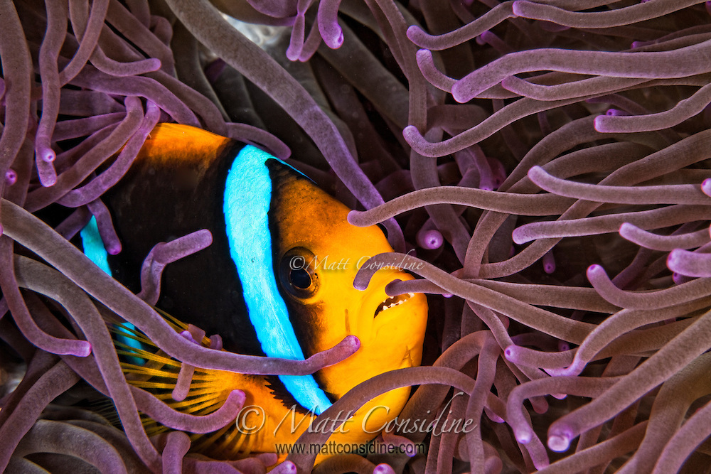 Luxuriously colored tentacles envelop a Clark's Anemone fish. Palau Micronesia. (Photo by Matt Considine - Images of Asia Collection)