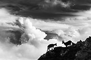 An alpine ibex goat and a subadult (Capra ibex), mount Pilatus, Central Switzerland