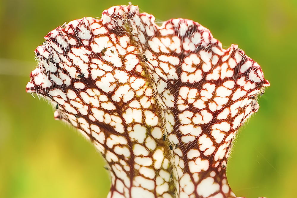 """Close-up of the hairs underneath the """"umbrella"""" part of the pitcher plant that guide the unsuspecting insects into the trap, or pitcher. Look closely and you can see the 13-14 gnats tangled among these hairs."""