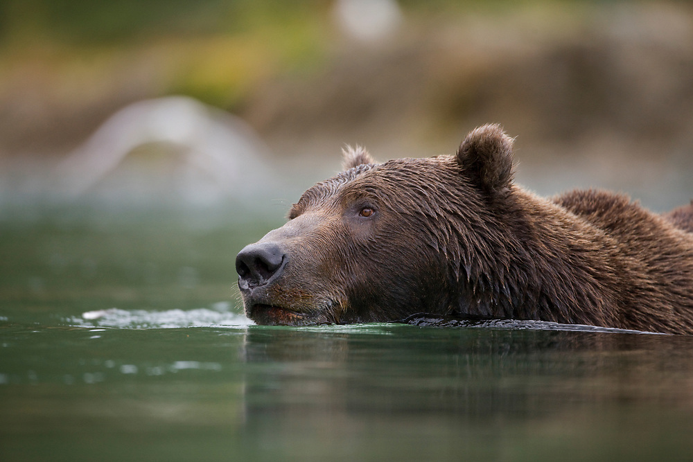 USA, Alaska, Katmai National Park, Kinak Bay, Brown Bear (Ursus arctos) swims while fishing for spawning salmon in river on autumn day