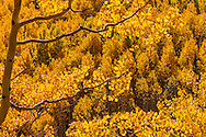 Aspen Forest color change