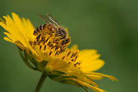 Honey Bee, Apis mellifera<br />