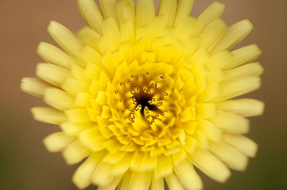 France, Languedoc Roussillon, Gard (30), Cevennes, fleur de Urosperme de Daléchamps, N.L.: Urospermum dalechampii, (Astéracées)