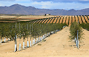 Rolling landscape with lines of newly planted olive trees, near Tabernas, Almeria, Spain