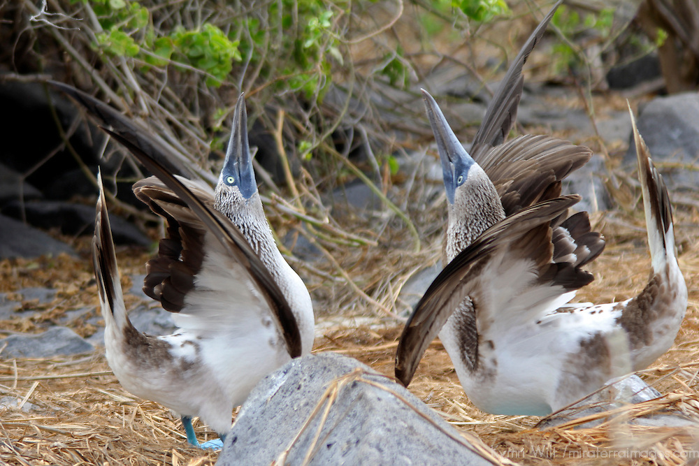South America, Ecuador, Galapagos, Espanola. A pair of Blue-footed Boobies in courtship display.