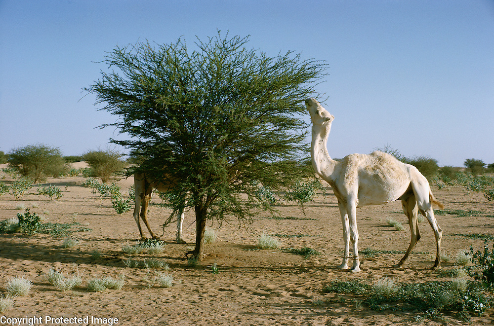 Dromedary camel eating leaves of Acacia tree, Niger, Africa.